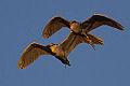 Black-crowned Night Herons (nycticorax hoactli) at Sunset (8886694688).jpg
