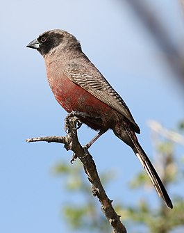 Black-faced waxbill, or black-cheeked waxbill, Estrilda erythronotos, at Zaagkuildrift Road near Kgomo Kgomo, Limpopo, South Africa (33418486332).jpg