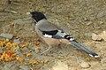 Black-headed Jay Garrulus lanceolatus by Dr. Raju Kasambe DSCN2465 (3).jpg