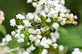 Black-shouldered drone fly (45351392441).jpg