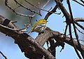 Black-throated Green Warbler (13654654613).jpg