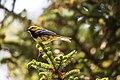 Black-throated green warbler (28046046895).jpg