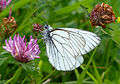 Black-veined White. Aporia crataegi. (16155181462).jpg