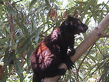 Black Lemur Male.JPG