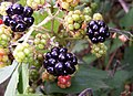 Blackberry fruits06.jpg