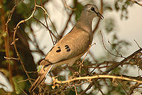 Blackbilledwooddove
