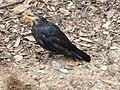 Blackbird Usutu.jpg