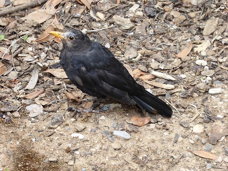File:Blackbird Usutu.jpg