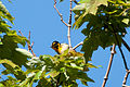 Blackburnian Warbler Setophaga fusca, Nahant, MA 2.jpg