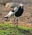 Blacksmith Lapwing (Vanellus armatus) (33132040661).jpg