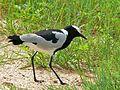 Blacksmith Lapwing (Vanellus armatus) (6035460183).jpg