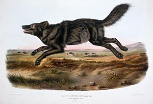 "Black wolf - An illustration of an ""American black wolf"" by John James Audubon."
