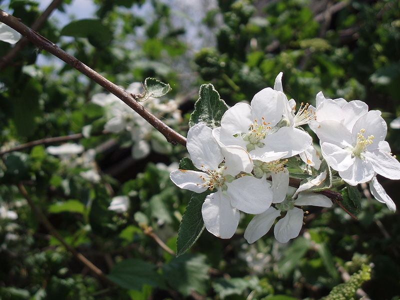 File:Blooming apple tree in spring.JPG