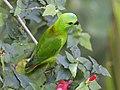 Blue-crowned Hanging-Parrot (Loriculus galgulus) (8731305080).jpg