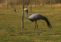 Blue Crane - Rondebult - South-Africa 97 0006 (15525817986).jpg