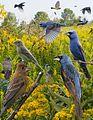 Blue Grosbeak From The Crossley ID Guide Eastern Birds.jpg