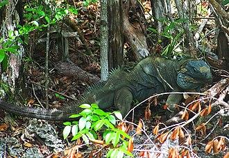 Queen Elizabeth II Botanic Park - Blue Iguana on Wilderness Trail, Queen Elizabeth II Botanic Park