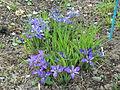 Blue and purplered Iris rossii Baker flowers in Kuboizumi Saga.JPG