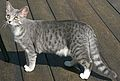 Blue spotted tabby and white stray Cat 1.jpg