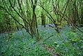 Bluebells, South Wood - geograph.org.uk - 1875565.jpg