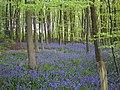 Bluebells (300846155).jpg
