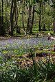 Bluebells Roydon Woods 02.jpg