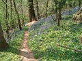 Bluebells in Lower Brienton woods - geograph.org.uk - 454349.jpg