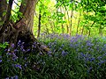 Bluebells in Pear Tree Copse - geograph.org.uk - 7353.jpg