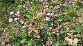Blueberries growing in New Jersey.jpg