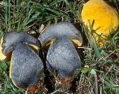 borowik żonkilowy (Sutorius junquilleus )