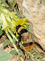 Bombus niveatus female 3.jpg