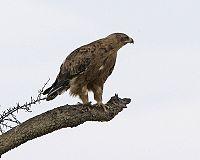 Booted Eagle (Hieraaetus pennatus) (2821390977).jpg