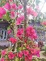 Bougainvillea, Lakhimpur.jpg