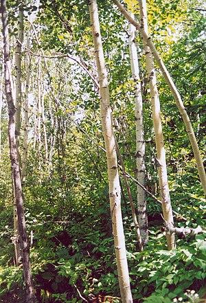 Birch dieback - Paper birch in Quebec