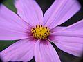 Bower Flower (2549894607).jpg