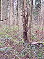 Bracket Fungus at the Harewarren - geograph.org.uk - 318182.jpg