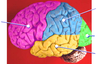 Brain lobes - lateral surface.png