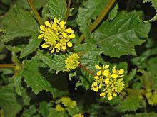 Brassicaceae - Sinapis arvensis (3).JPG