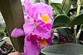 Brassolaeliocattleya Meditation Lahaina Lipstick II x Brassolaeliocattleya Good News 1zz.jpg