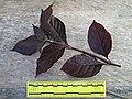 Brazilian joyweed (Alternanthera brasiliana) leaves ruled.jpg