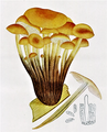 Bresadola - Collybia velutipes.png