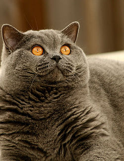 Cat Breed Chubby Face And Wide Chest