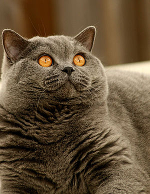 "British Shorthair - A fully mature British Blue male, showing the characteristic heavy jowls and unique ""crisp"" texture of the coat"
