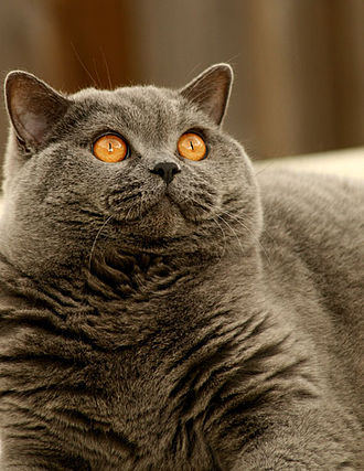 Cheshire Cat - A fully mature British Shorthair