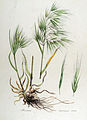 Bromus tectorum — Flora Batava — Volume v13.jpg
