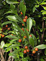 Brunfelsia abbottii fruits — Scott Zona 001.jpg
