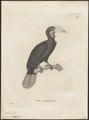 Buceros corrugatus - 1700-1880 - Print - Iconographia Zoologica - Special Collections University of Amsterdam - UBA01 IZ19300081.tif