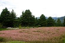 Campo di grano saraceno in fiore nel distretto di Bumthang in Bhutan (Mario Biondi, settembre 2010)