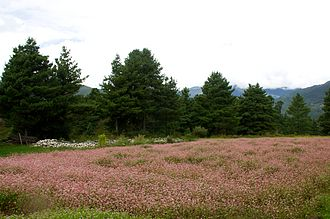 Buckwheat - Field of buckwheat in Bumthang (Bhutan)
