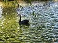 Bucuresti, Romania, Parcul Herastrau (Imagine de pe lacul Herastrau)(din episodul Lebada Neagra, 2); B-II-a-A-18802.JPG